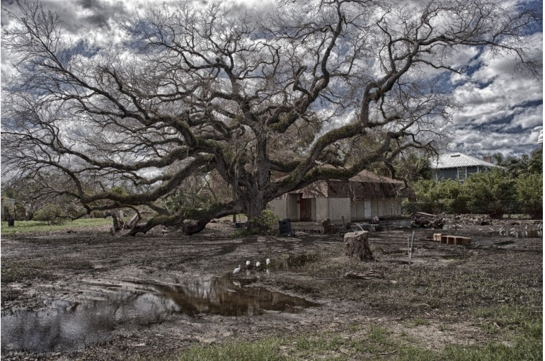 Live Oak Stripped