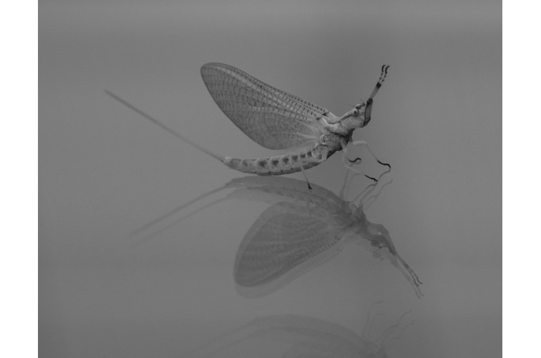 Mayfly & Reflection