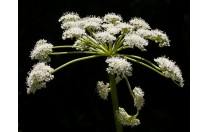 The Queen's Lace